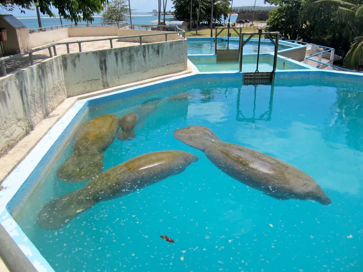 The Manatee Project (Projeto Peixe-Boi), Itamaraca Island,Brazil