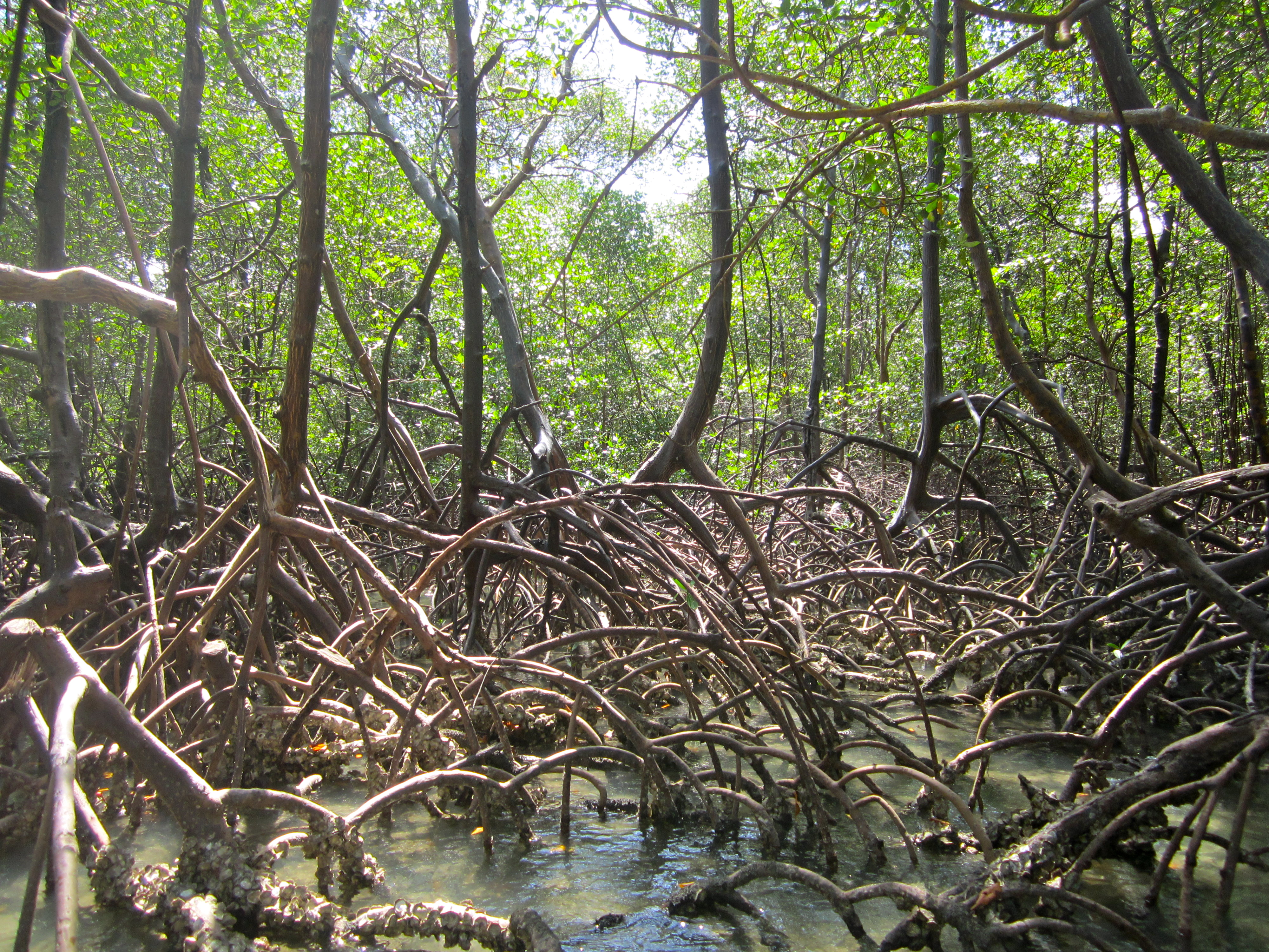 the relevance of mangroves in climate Impacts of climate change on mangrove to climate change impacts, and because mangroves are the importance of mangrove type and.